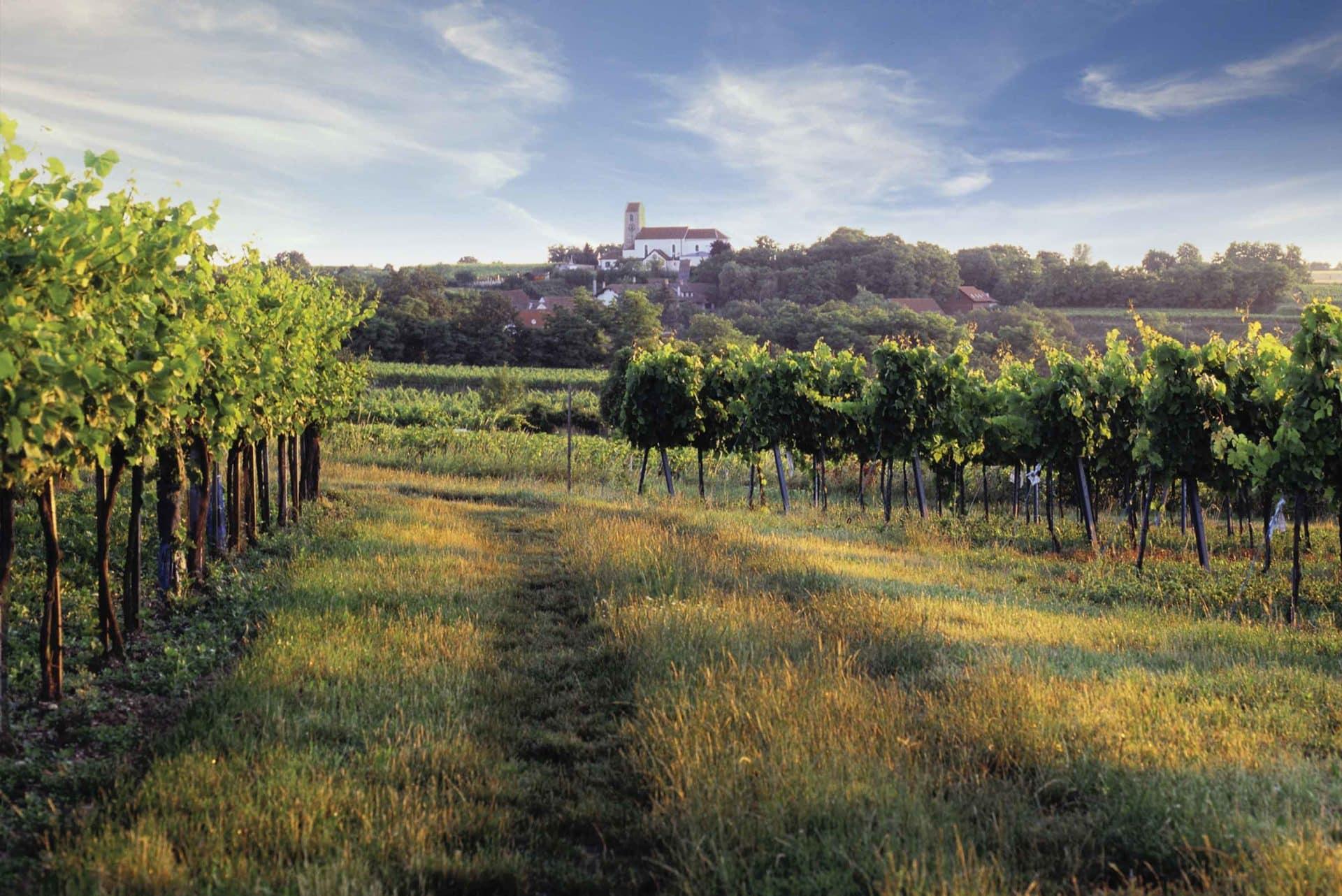 Weingärten bei Sonnenlicht mit Hohenwarther Kirche im Hintergrund